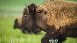 bison buffalo volunteer