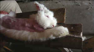 angora rabbit fur cruelty