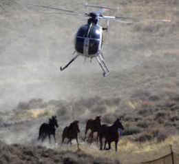 widl horse roundup BLM