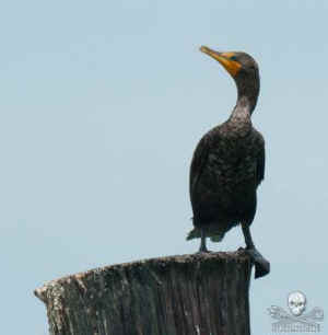 cormorant cull eating fish