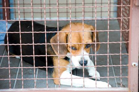 animals should not be placed in laboratory cages and be used for laboratory tests Find general information on blood collection methods and recommended blood collection sites for common laboratory animals all procedures must have prior approval from the institutional animal care and use committee (iacuc).