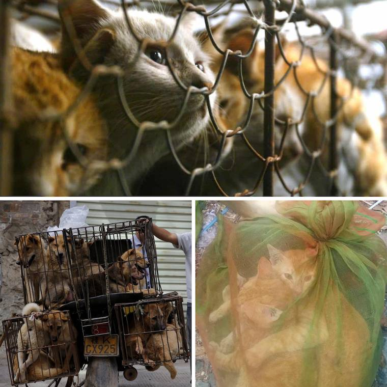 cat dog meat