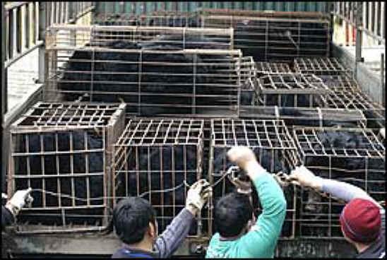 نتيجة بحث الصور عن Bear Bile Farming :