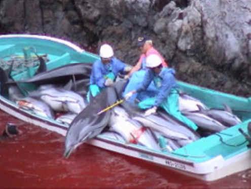 Это традиционная охота на дельфинов проводится ежегодно и не запрещена японскими законами.