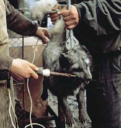 Pictures - Cruelty of Fur Farms