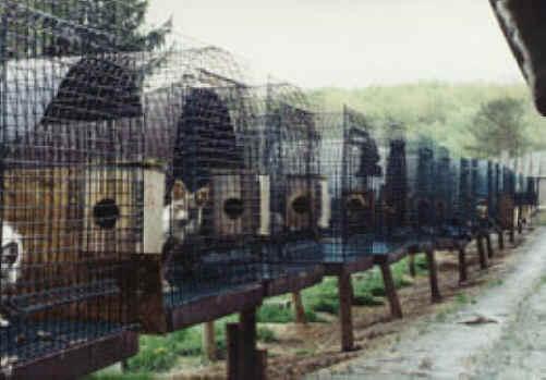 Chinchilla Fur Farm These beautiful wild animals