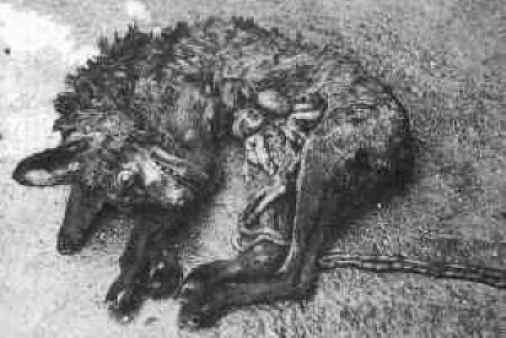 Taip atrodo lapė po medžioklės taikiais šunimis - skalikais