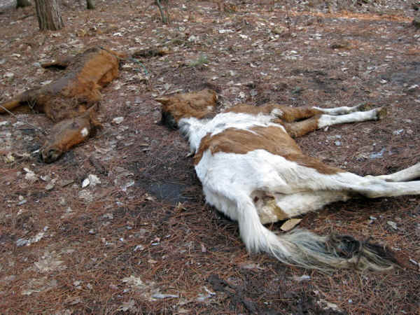 Animal Abuse Horses Horse Abuse 03 Another