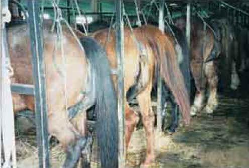 Equine (Horses, Ponies, etc.) - Pregnant Mares Urine (PMU) Farming ...