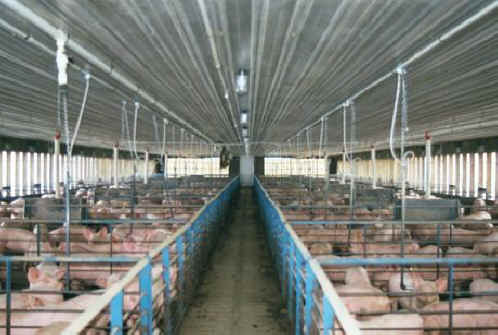 The Pig - Factory Farming-14 - All Creatures Animal Exploitation Photo