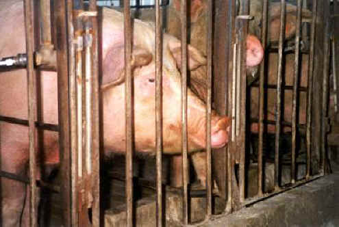 pig gestation crates