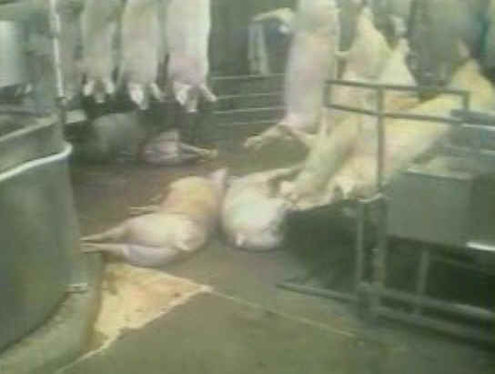 http://www.all-creatures.org/anex/pig-slaughter-18.jpg