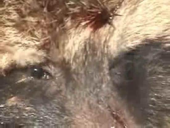 Raccoon Dog Fur