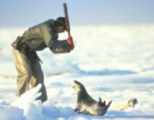 seal-fur-03.jpg  Foca seal fur 03