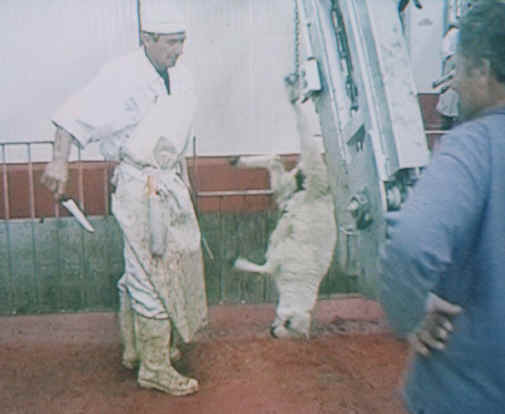http://www.all-creatures.org/anex/sheep-slaughter-01.jpg