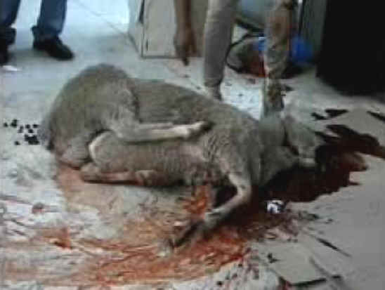 http://www.all-creatures.org/anex/sheep-slaughter-07.jpg