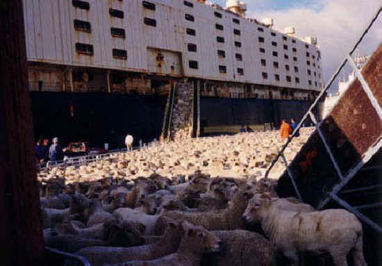 ../anex/sheep-transport-11