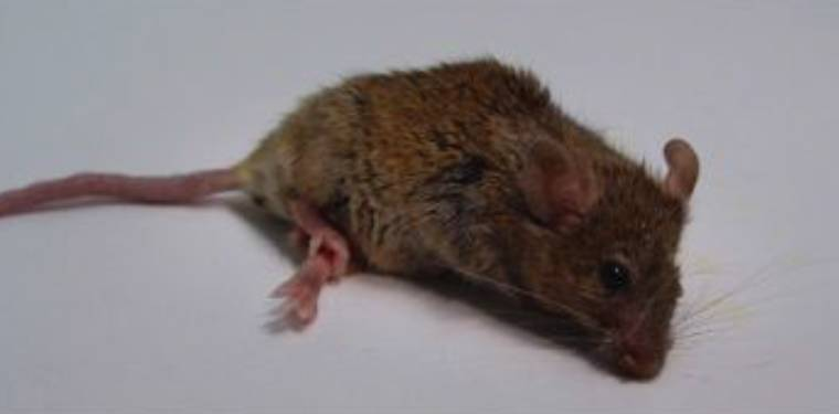 ALS symptoms mouse
