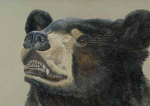 black bear Barry MacKay
