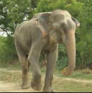 Raju chained elephant