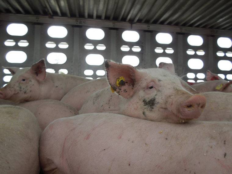 transported pigs