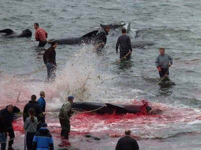 Faroe Islands whale dolphin slaughter