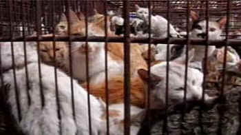 cat fight over chinas feline meat trade