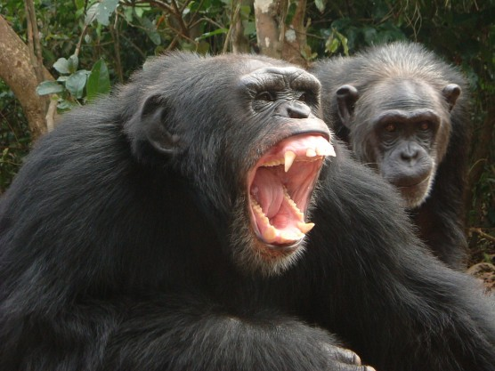 Lady chimps will mate for meat - Technology & science - Science ...