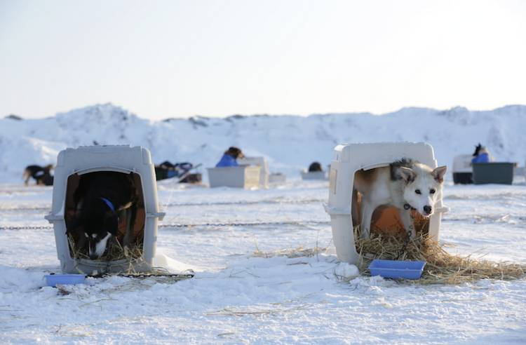 Coca Cola Sponsors Animal Cruelty And Deaths Of Iditarod