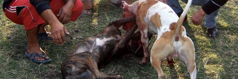New research reveals extent of dog fighting in the USA