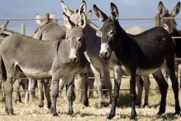 donkeys and ejiao