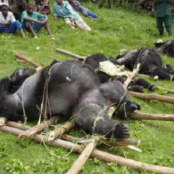 Gorilla Fighting Other Animals Who's fighting it: national