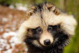 raccoon dog puppy