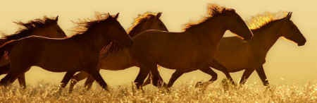 wild horse roundup BLM