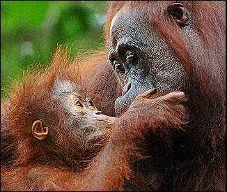 Orangutans Resistance And The Zoo The Story Of Ken Allen And