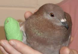 rescued pigeon