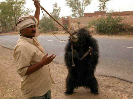 Sloth Bears: They Eat Ants, but Take on Tigers | Science ...