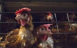 caged hens