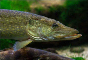 freshwater fish extinct