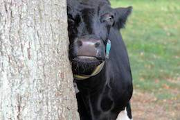 rescued cow