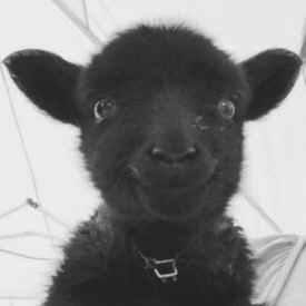 Vegan Black Sheep