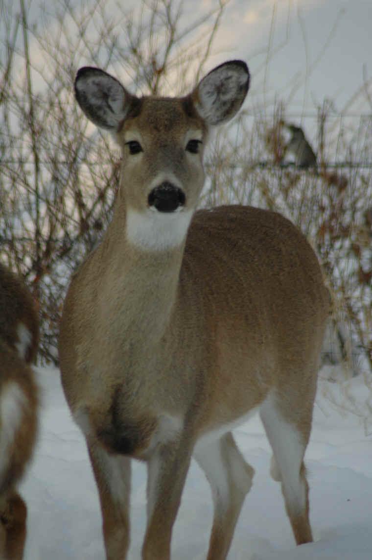 Whitetail Deer Photos Animals In The Wild Wildlife