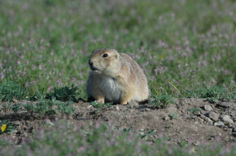 Black Tailed Prairie Dog Reproduction