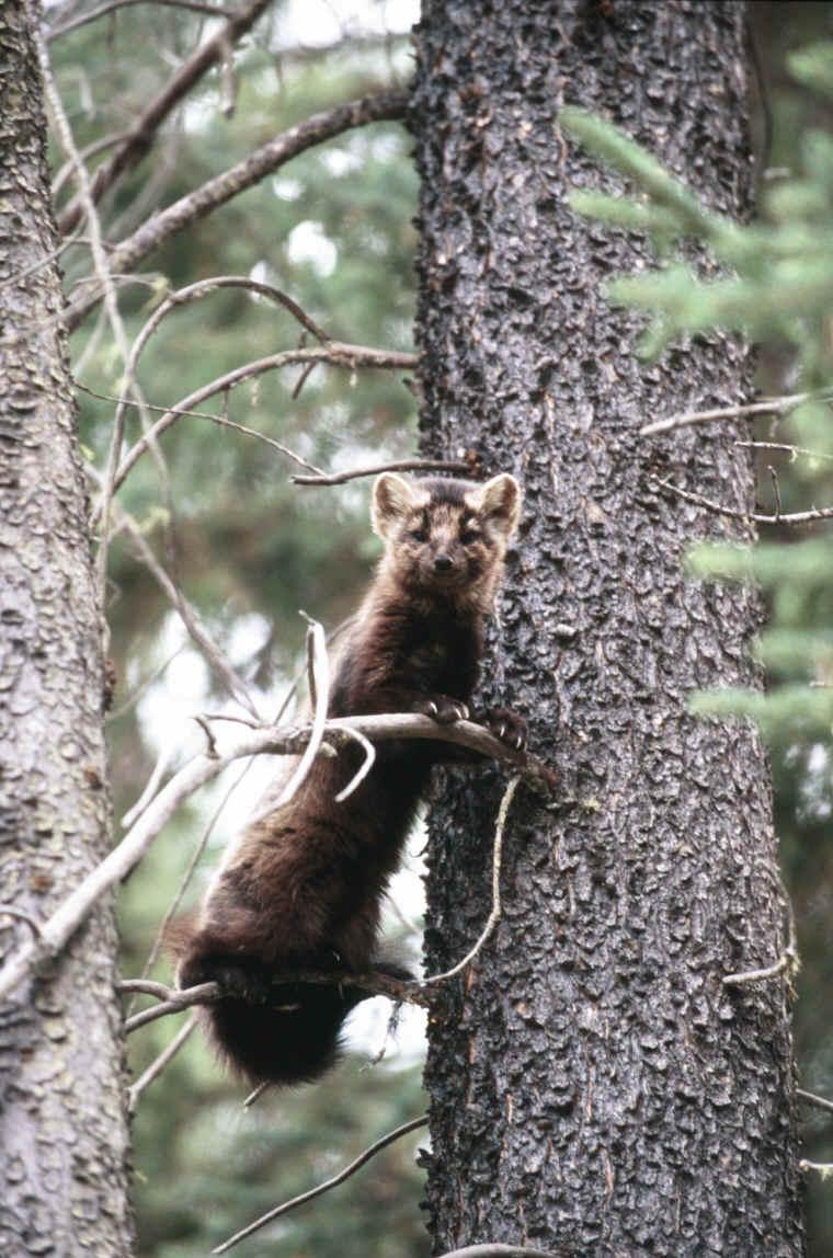 Pine Marten Photos Animals In The Wild Wildlife