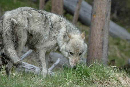http://www.all-creatures.org/aw/wolves-063-hp.jpg