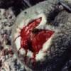 Mulesing Sheep - Bloody Wound