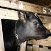 Veal Calf