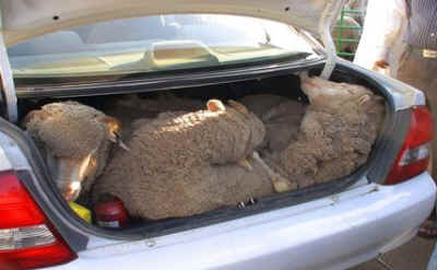 sheep in trunk