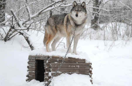 ../images/ar-tdiv-wolfdogs