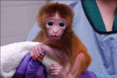 Scientists Produce Monkey Chimeras with Multiple Parents ...